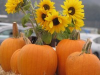 sunflowers and pumpkins